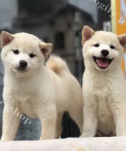 hai chú chó Shiba Innu con thuần chủng màu trắng