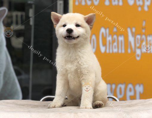 Chó Shiba Inu con thuần chủng đực