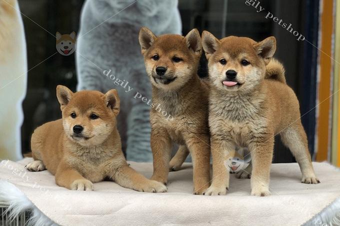 Các đàn Shiba Inu con từ Trang trại Dogily Kennel đều có bố mẹ nhập châu Âu hoặc Nhật Bản.