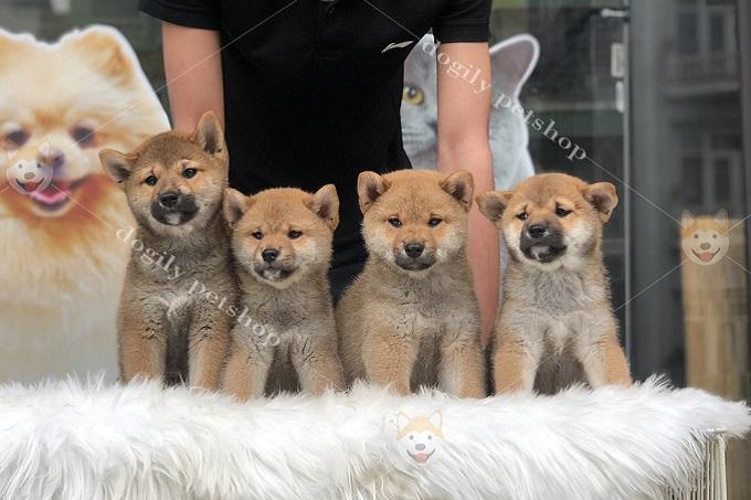 Chất lượng cún con của Trang trại Dogily Kennel đạt tiêu chuẩn không thua kém các trại lớn của Thái Lan, Đài Loan.