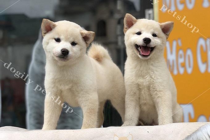 """Hai bé chó Shiba Inu con màu trắng 2 tháng tuổi. Toe toét nên em còn được gọi là """"chó mặt cười"""" ba mẹ nha."""
