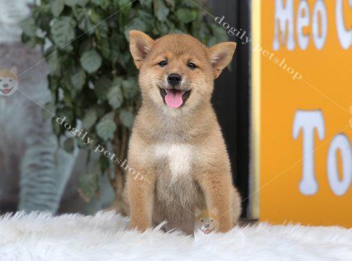 Chó Shiab Inu