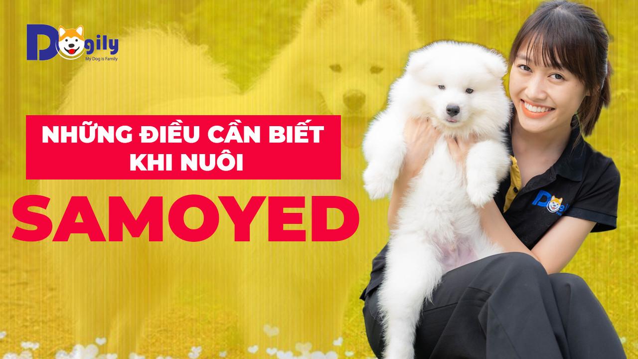 Chó Samoyed - Cách nuôi chó samoyed, chó samoyed ăn gì? Samoyed có dễ nuôi không? Samoyed mua ở đâu?