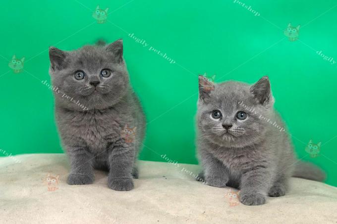Đôi mèo Anh màu xám xanh