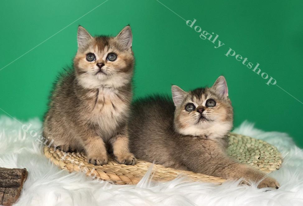 Hai bé mèo ALn con thuần chủng màu Golden