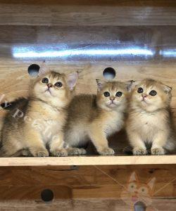 mèo anh lông ngắn con thuần chủng màu Golden