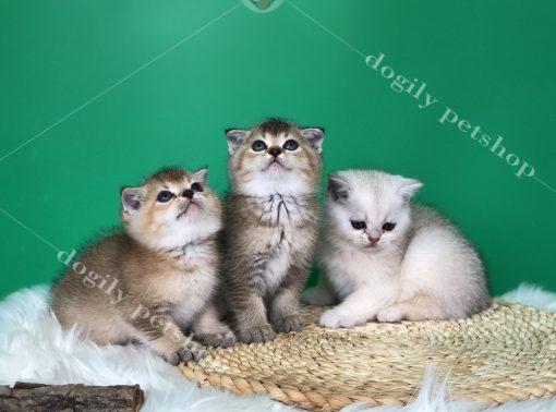 Những bé mèo Anh lông ngắn dễ dàng chinh phục trái tim hàng ngàn người thủ đô bằng sự xinh xắn, dễ thương của mình.