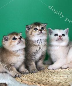 Mua mèo anh lông ngắn Golden thuần chủng liên hệ hotline: 0911.079.086 - 0965.086.079