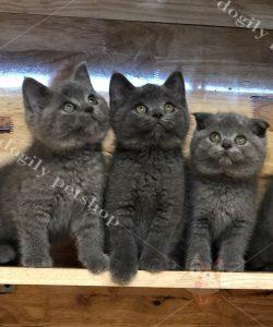 4 mèo ALN con thuần chủng màu xám xanh