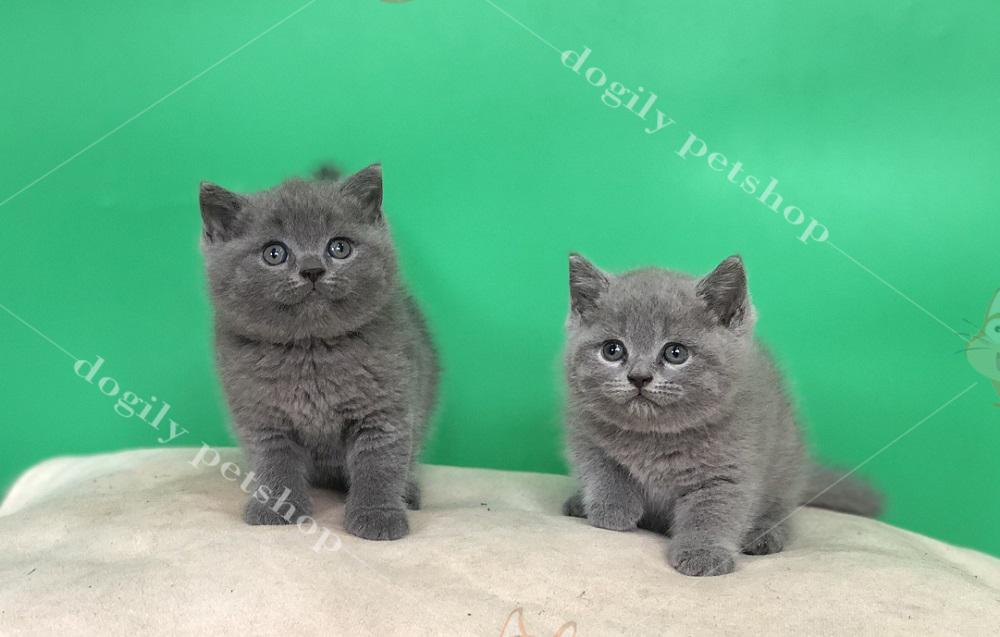 Hai chú mèo Anh lông ngắn con thuần chủng màu xám xanh