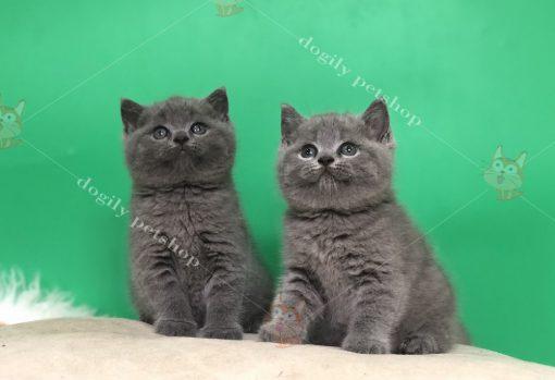 Mèo Anh lông ngắn có rụng lông hay không?