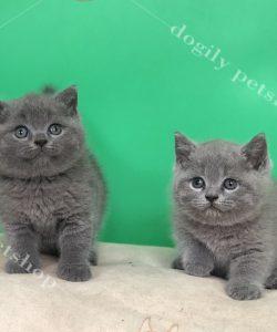 Hai bé mèo anh lông ngắn màu xám xanh