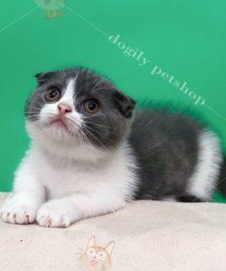 Mèo tai cụp, chân ngắn màu bicolor