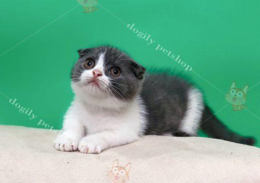 Mèo Anh lông ngắn xám trắng là phổ biến nhất trong các màu của mèo bicolor.