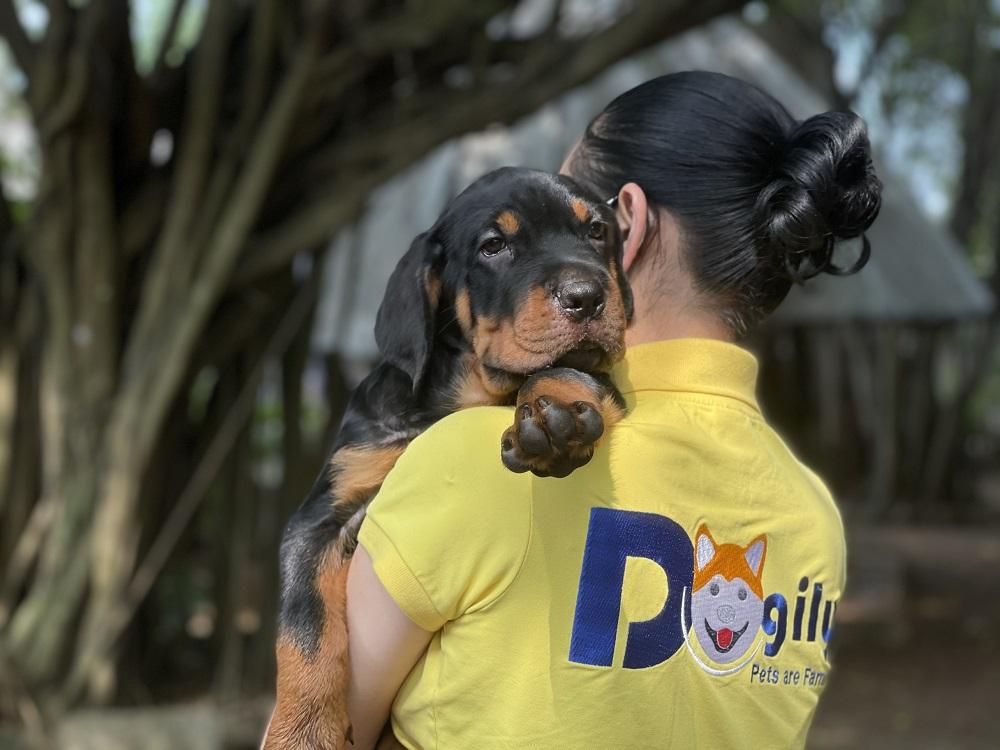 Dogily Petshop có thể cung ứng chó Rottweiler con thuần chủng nhập khẩu, sinh sản trong nước cho khách hàng trên toàn quốc