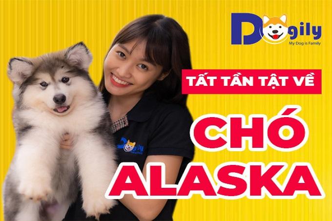Cách nhận biết chó Alaska thuần chủng