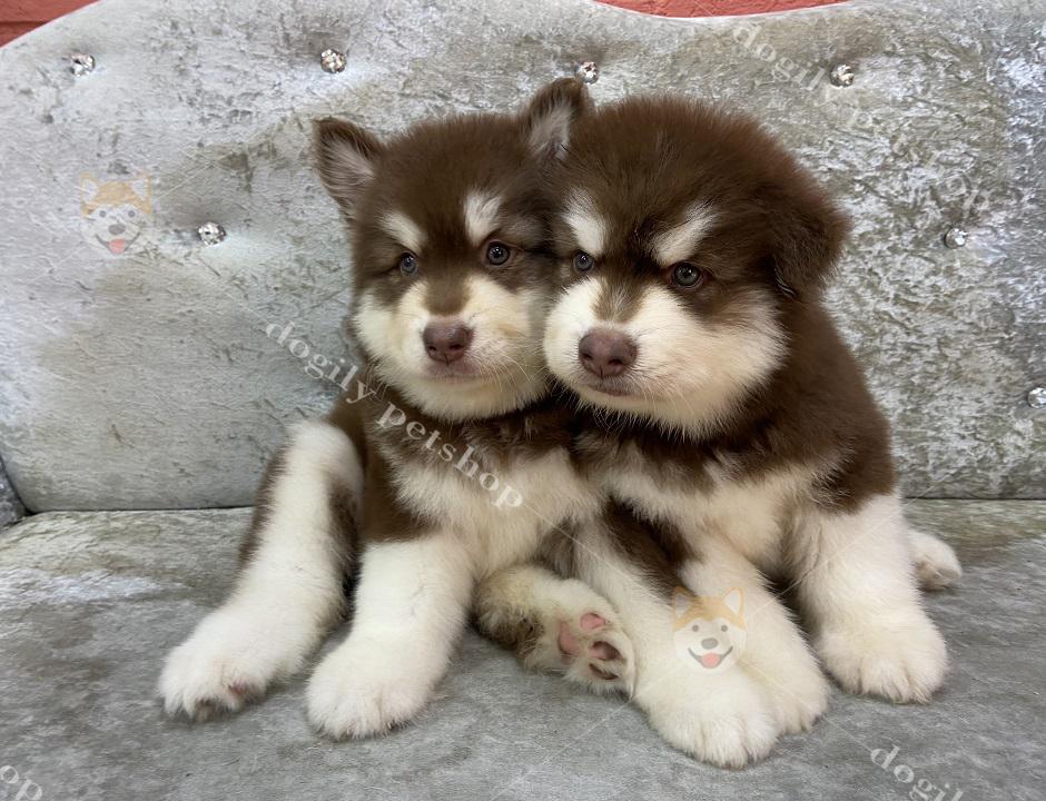 Cặp chó Alaska Malamute con thuần chủng màu nâu đỏ