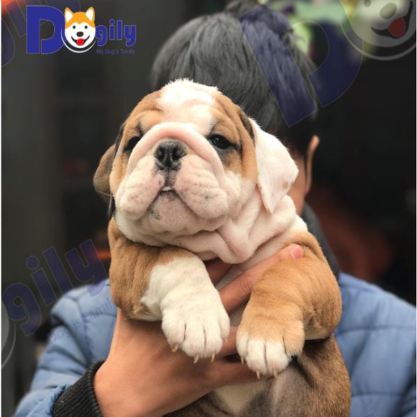 Chó Bulldog Anh