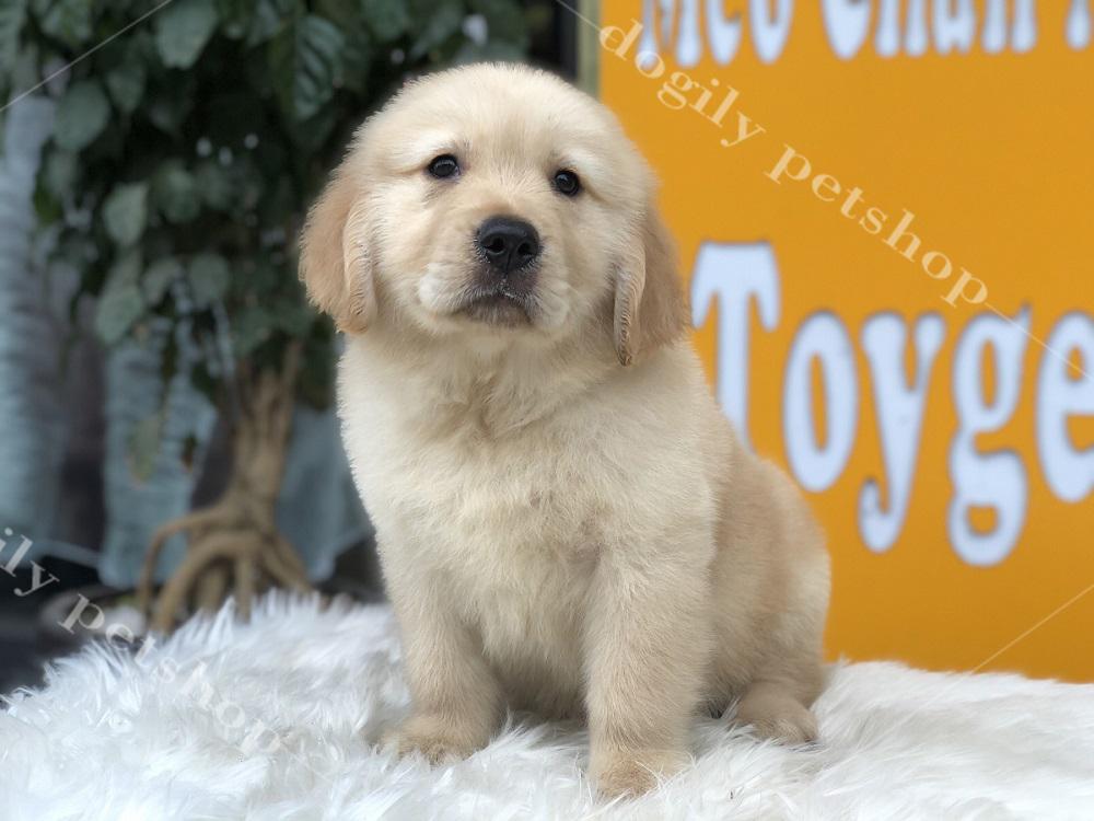 Chó Golden con thuần chủng màu vàng.