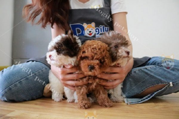 Đàn Poodle đáng yêu nhiều màu sắc tại Dogily