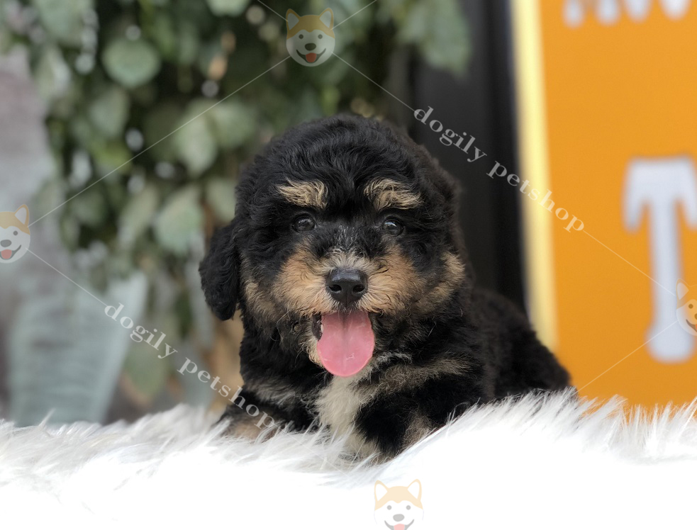 Chó Poodle màu Phantom