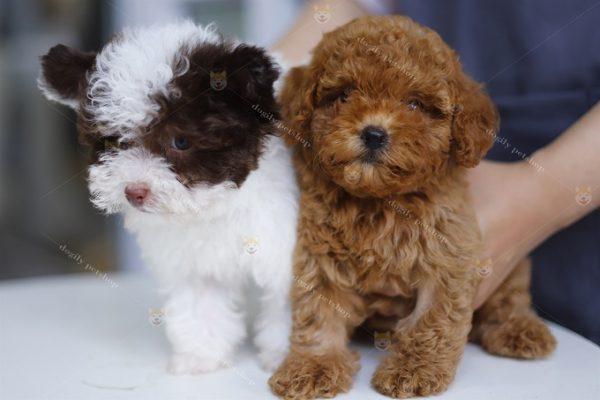 Chó Poodle tai bướm và bò sữa