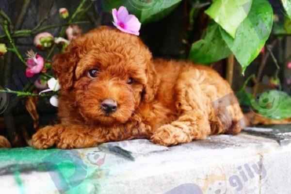 Chó Poodle Toy 2 tháng tuổi nâu đỏ