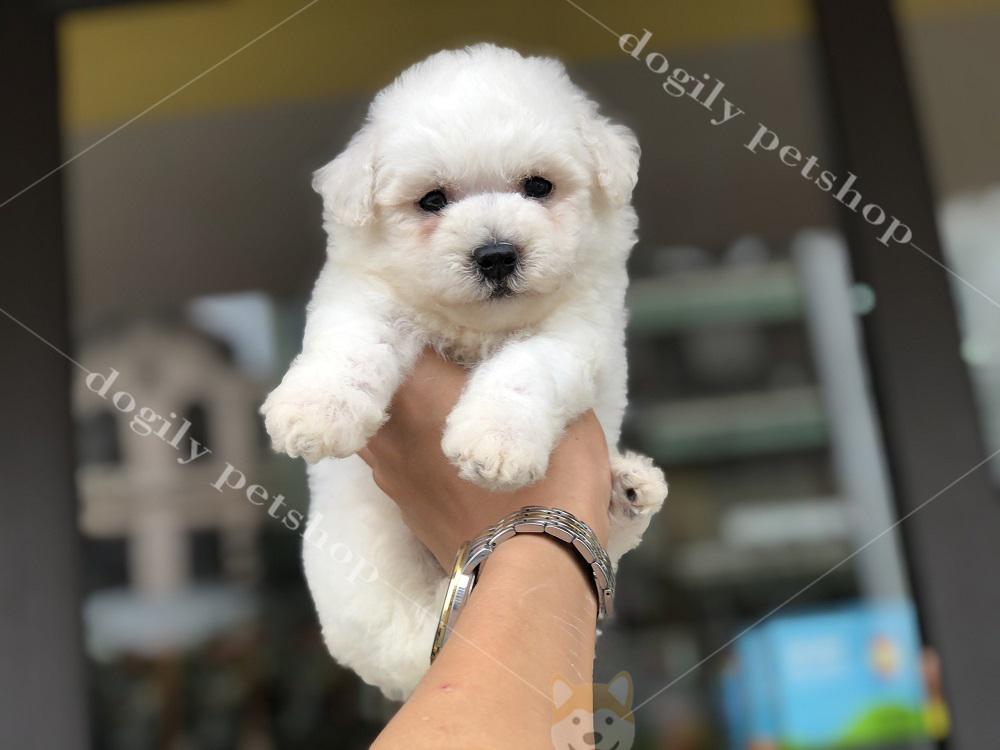 Chó Poodle màu trắng hơn 2 tháng tuổi