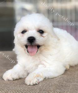 chó Poodle trắng con