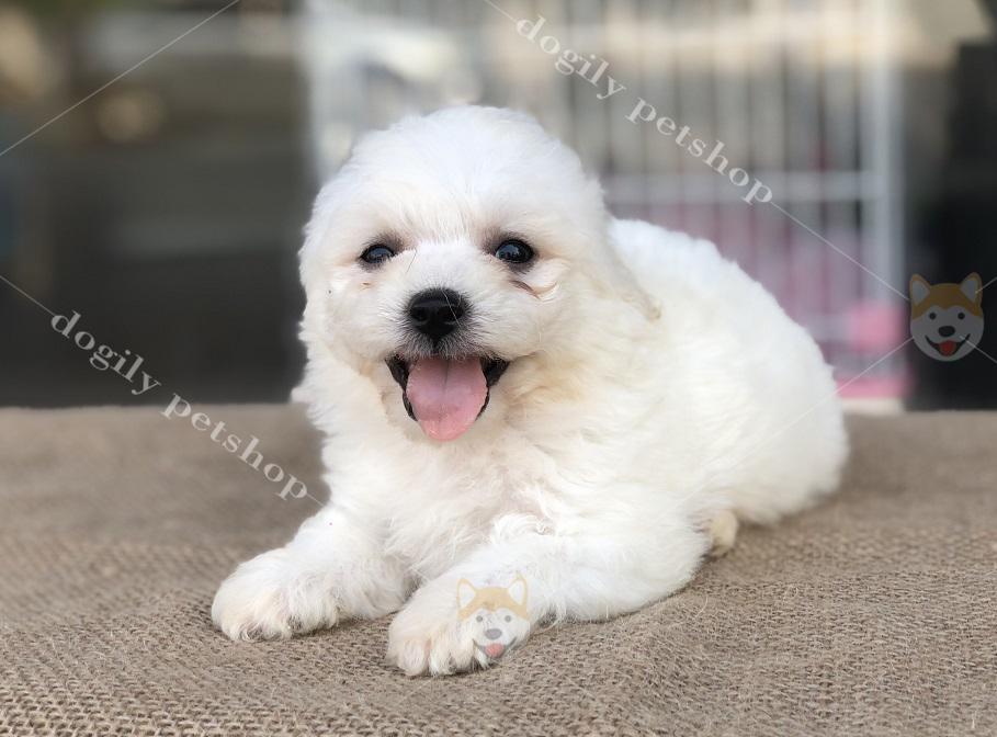 Chó Poodle con thuần chủng hơn 2 tháng tuổi