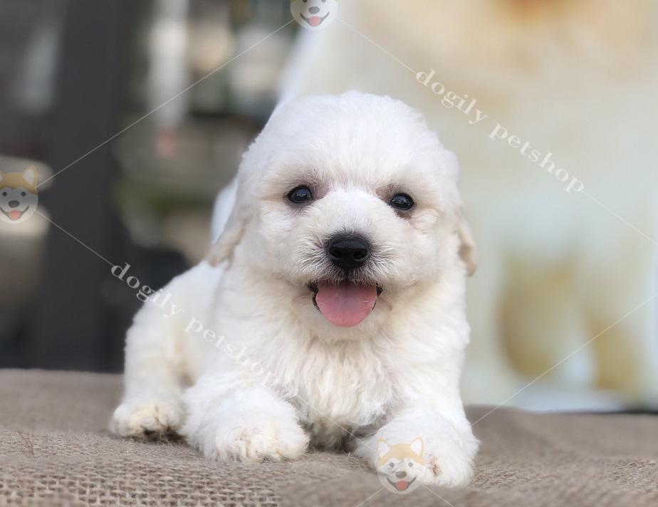 Chó Poodle con thuần chủng màu trắng