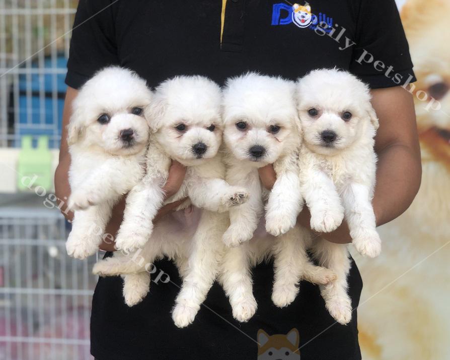 Đàn chó Poodle con thuần chủng màu trắng