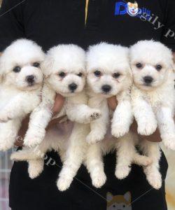 đàn chó Poodle trắng