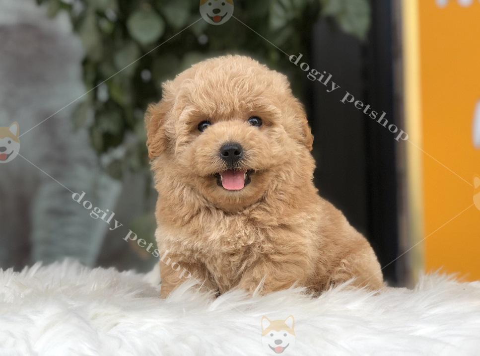 Cún Poodle con thuần chủng màu vàng mơ