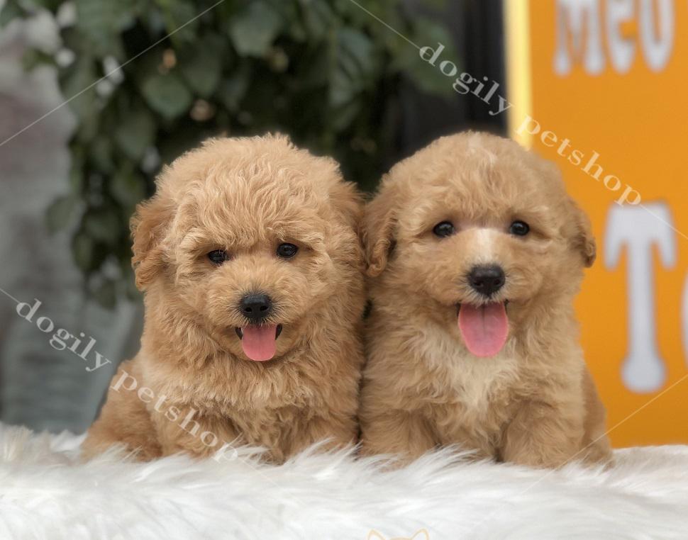 Cặp đôi chó Poodle con màu vàng mơ