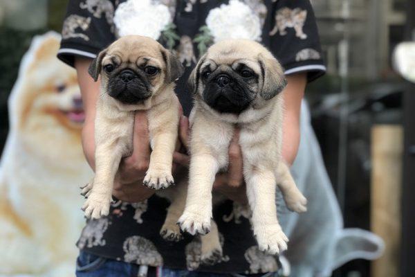 Mua bán chó Pug con giá bao nhiêu tiền tại Dogily Petshop Tphcm, Hà Nội.