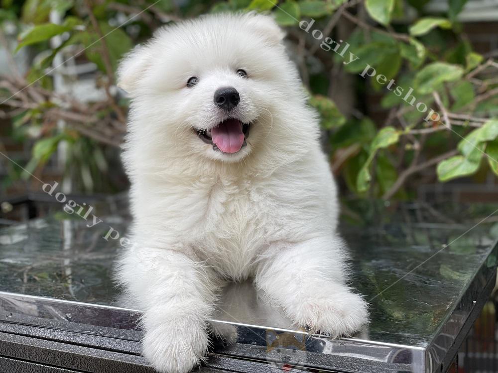 Chó Sanoyed con thuần chủng màu trắng nhà Dogily Petshop