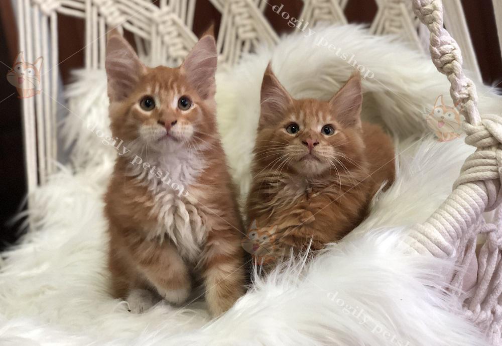 Hai bé mèo Maine Coon màu cam thuần chủng bố mẹ nhập khẩu 2 tháng tuổi.