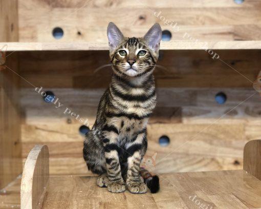 Mèo Bengal nâu đỏ con