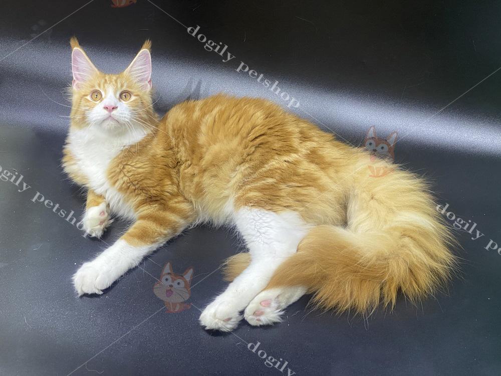 Bé mèo Maine Coon màu vàng đâm 4 tháng tuổi nhà Dogily.