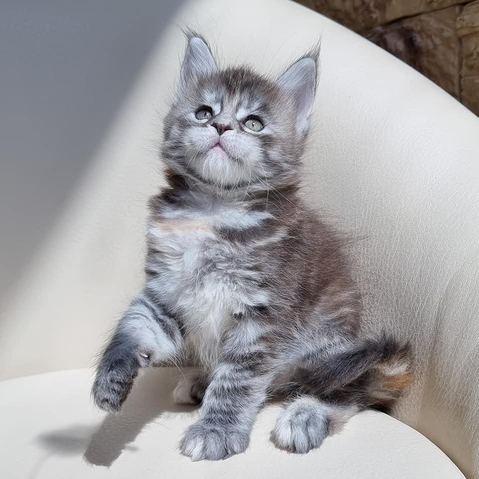 Mèo Main Coon nhập khẩu có giá không dưới 5.000 usd 1 bé.