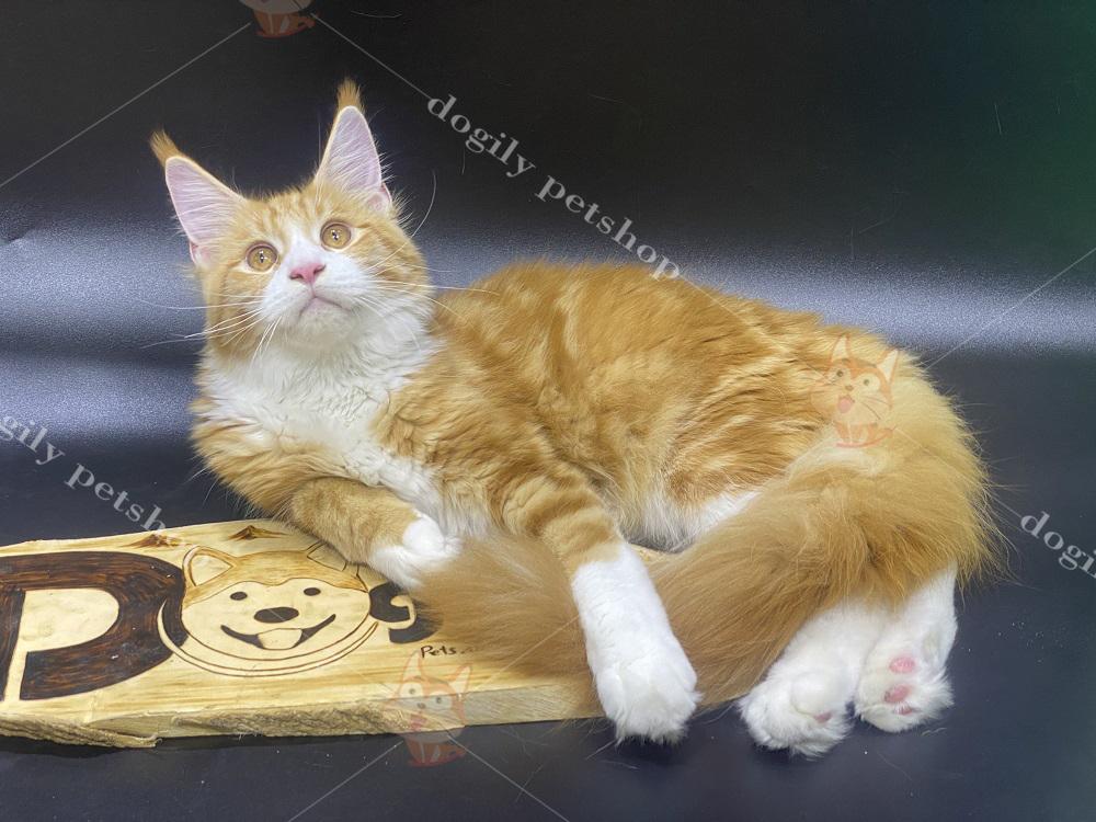 Mua bán mèo Maine Coon con giá bao nhiêu tiền?
