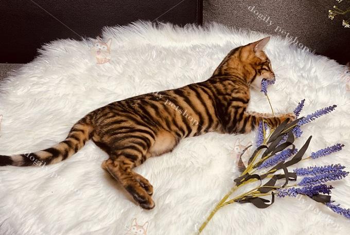 Mèo Toyger có ngoại hình y như một chú hổ thu nhỏ.