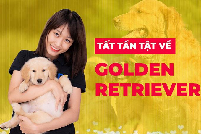 Video cách chăm sóc chó Golden Retriever? Mua chó Golden con ở đâu uy tín?