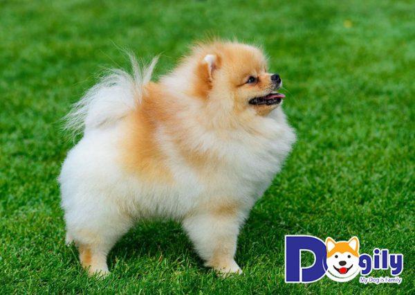 Hình ảnh những chú chó Phốc Sóc thuần chủng đủ màu sắc tại Dogily Petshop