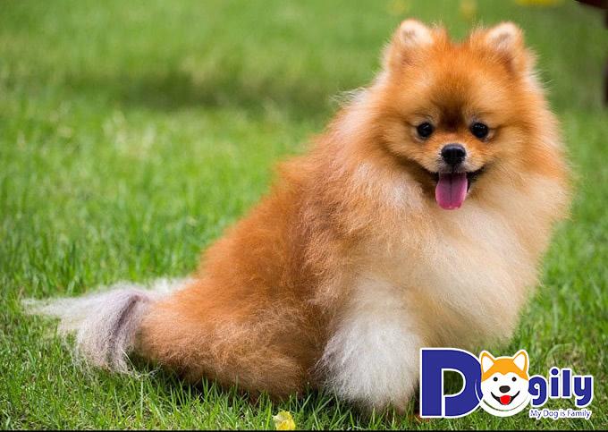 Chó Phốc Sóc màu cam