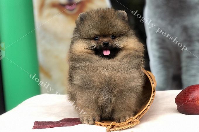 Chó có giấy VKA thường có giá cao hơn từ 10-15 triệu so với không giấy.