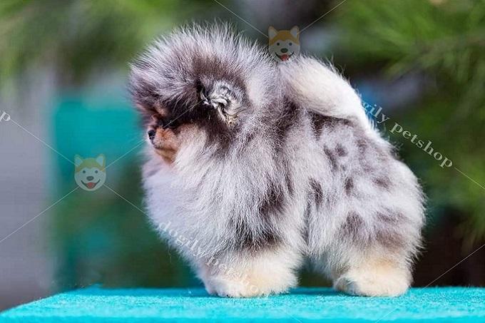 Chó Phốc sóc màu blue merle