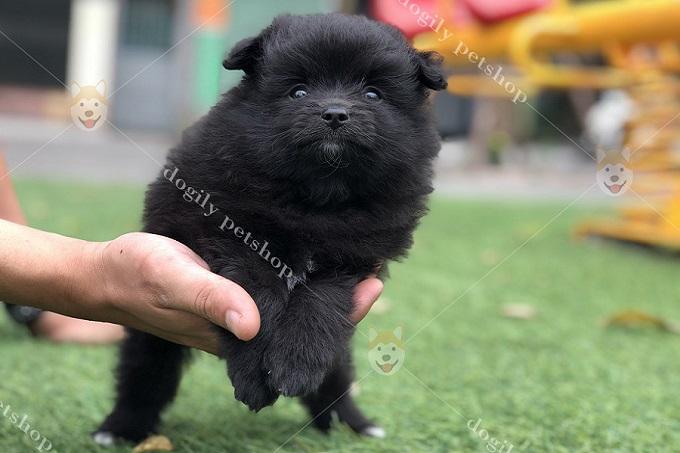 Chó Phốc Sóc màu đen...