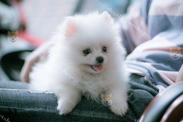 chó Pom màu trắng